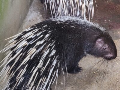 Controversial porcupines